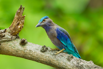 Indian roller(Coracias benghalensis) catch on the tree