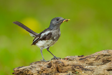 Female Oriental Magpie Robin (Copsychus saularis) with worm