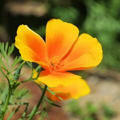 Kalifornischer Mohn - California poppy 35