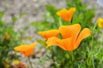 Kalifornischer Mohn - California poppy 36