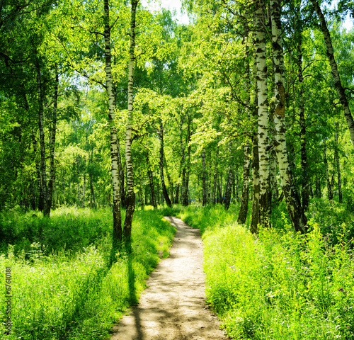 Birch forest on a sunny day. Green woods in summer - 67610181