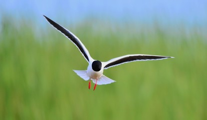 Black-headed Gull (Larus ridibundus)  landed