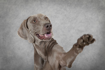 Shorthaired Weimaraner dog waving hello