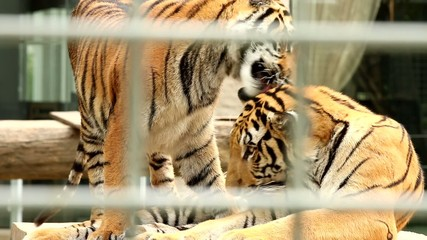 tiger lick its legs, look through tiger cage, chiangmai .