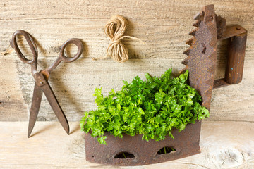 Fresh curly organic parsley on wooden table