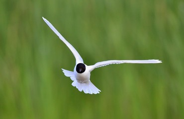 Flying Black-headed Gull (Larus ridibundus).