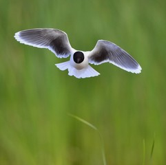 the front of Black-headed Gull (Larus ridibundus) flying