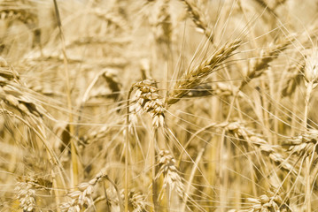 Spikelets of wheat against the background of a wheat field
