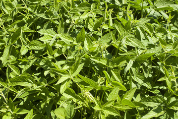 Green soy plant leaves in the cultivate field