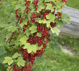 Bush branch with red currant