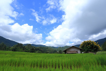 terrace green rice fields