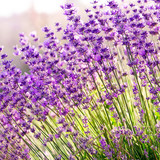 Fototapety Lavender flowers close up