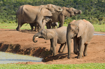 African elephants, ADDO reserve, South Africa