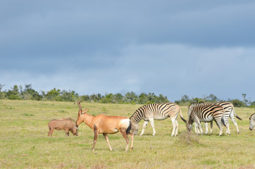 Zebras, antelopes and warhog, South Africa