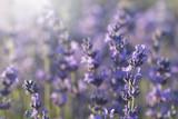 Fototapety lavender blossoms in the sunlight