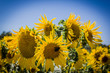 canvas print picture - Tournesols