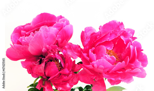 canvas print picture Peony flowers