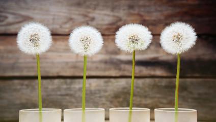 Four dandelions