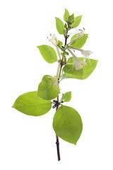 Fleur de chèvrefeuille (Lonicera japonica) sur un fond blanc