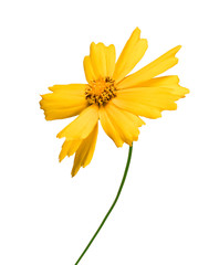 Yellow flower coreopsis isolated on white background