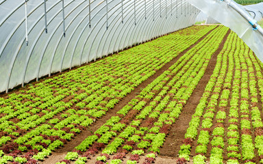 Agricultural tunnel with young crop seedlings