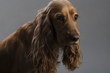 haired hunting dog on a black background
