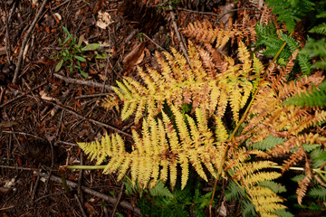 Yellow bracken leaves in woodland