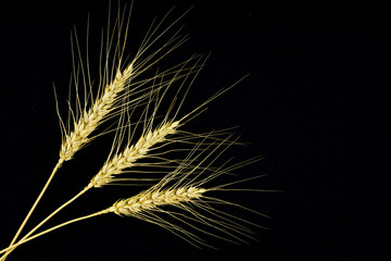 Stems of rye isolated