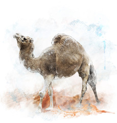 Watercolor Image Of  Single-Humped Camel
