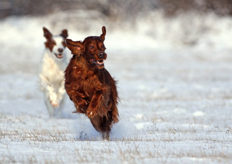 Funny Irish Setter running in the snow