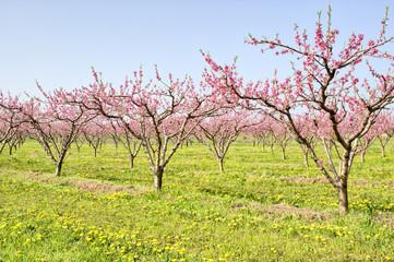 Peaches in a field