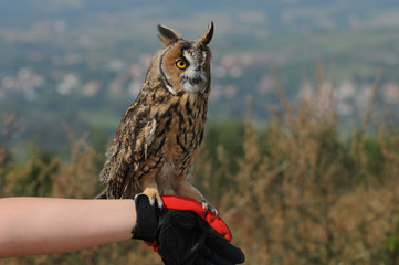 Tame Long-eared Owl (Asio otus, previously Strix otus)