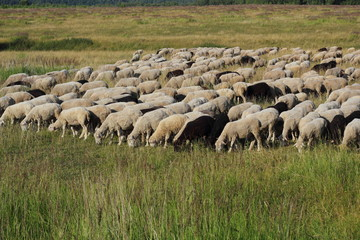 A flock of sheep on the green grass