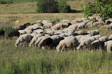 A herd of sheep on the green grass