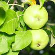 Organic green apples on branch