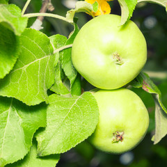 Organic green apples on branch
