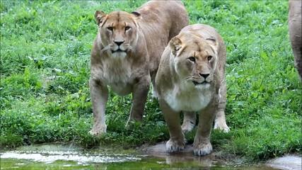 Löwenrudel an Wasserstelle (lions on waterhole)
