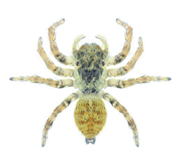 Spider Sitticus pubescens (female) on a white background