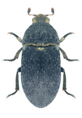 Beetle Dermestes laniarius