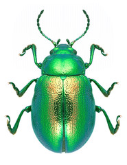 Beetle Chrysolina graminis