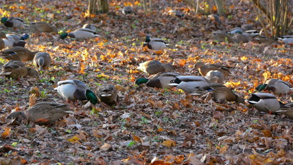 Flock of ducks is looking for food under leaves