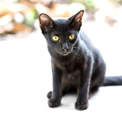 Asian black cat