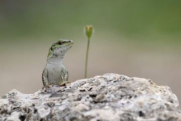 Italian wall lizard on a rock