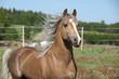 Amazing stallion running on summer pasturage