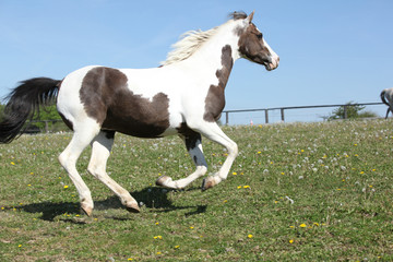 Beautiful pony running in summer