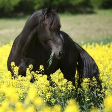 Magnifique cheval frison noir dans un champ de colza