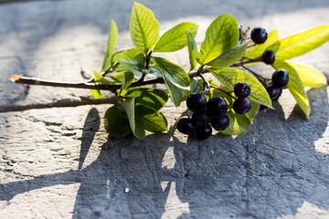 Aronia fruit known as chokeberry