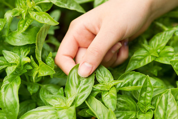 Fresh Basil ready to harvest