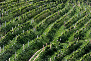 Rows of vines in the hills of Prosecco in Valdobbiadene, Italy