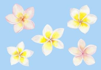 プルメリアの花 セット